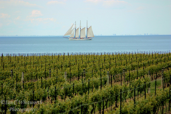 Tall ship passes a vineyard at Niagara on the Lake (Ian C Whitworth)