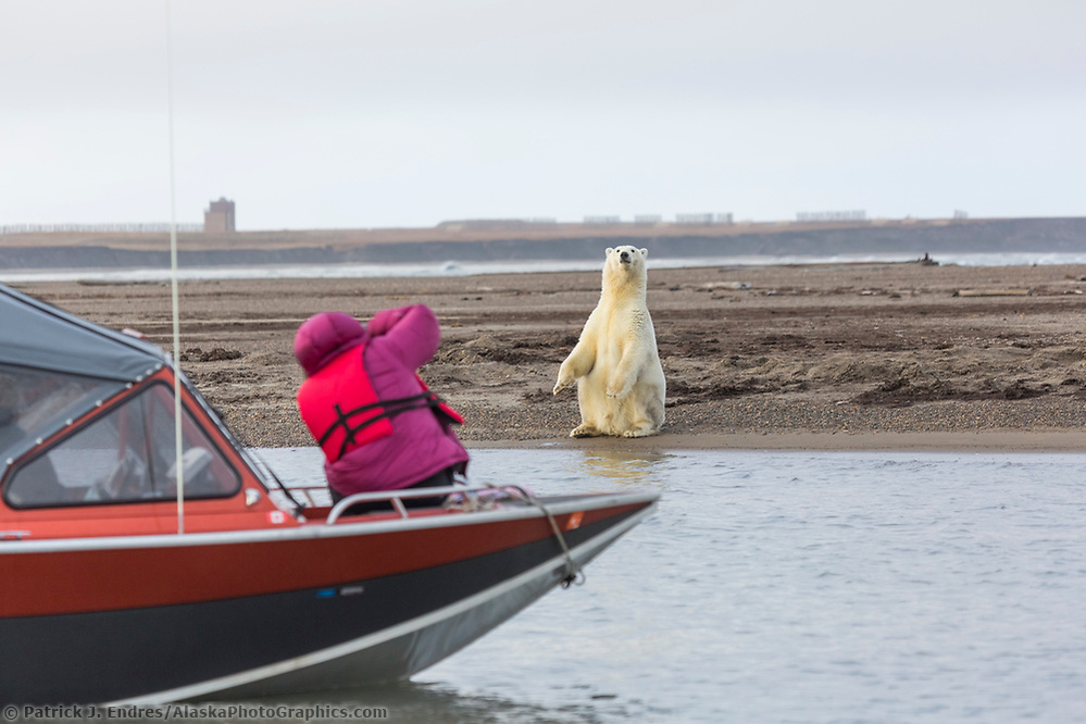 Photographer takes a picture of polar bear from a boat along Alaska's arctic coast. (Patrick J Endres / AlaskaPhotoGraphics.com)