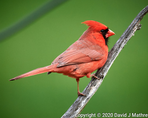 Male Northern Cardinal. Image taken with a Nikon D5 camera and 600 mm f/4 VR lens (ISO 1600, 600 mm, f/5.6, 1/400 sec). (DAVID J MATHRE)