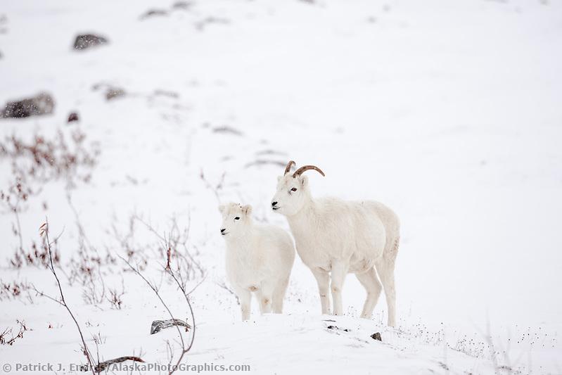 Dall sheep ewe and lamb on the snow covered tundra of the Brooks range, arctic Alaska. (Patrick J. Endres / AlaskaPhotoGraphics.com)