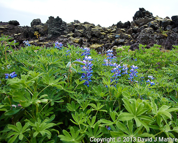 Lupins at the Edge of the Lava Field in Vestmannaeyjar, Iceland. The volcanic equption back in 1973 almost swallowed the town - there are homes buried under those rocks. Image taken with a Nikon 1 V2 camera and 6.7-13 mm VR lens (ISO 160, 6.7 mm, f/4, 1/500 sec). Nikonians Iceland Photo Adventure Tour. (David J Mathre)
