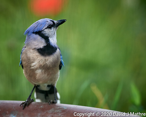 Blue Jay. Image taken with a Nikon D5 camera and 600 mm f/4 VR lens (ISO 1600, 600 mm, f/5.6, 1/500 sec) (DAVID J MATHRE)