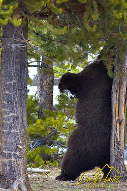 Grizzly Bear, the Preacher, Yellowstone National Park 