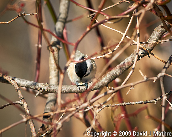 Black-capped Chickadee feeding. Image taken with a Nikon D300 camera and 400 mm f/2.8 lens (ISO 200, 400 mm, f/4, 1/2000 sec). (David J Mathre)
