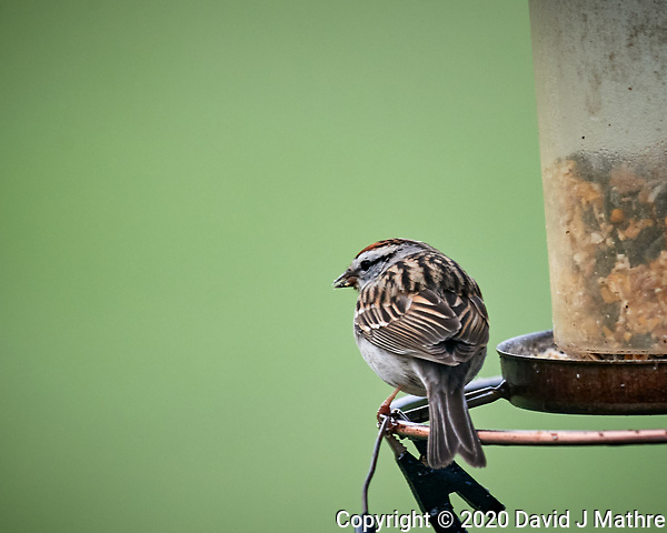 Chipping Sparrow. Image taken with a Nikon D5 camera and 600 mm f/4 VR lens (ISO 1600, 600 mm, f/5.6, 1/640 sec). (DAVID J MATHRE)