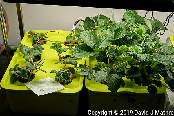 Hydroponic Tub 05 (Left) Tub 06 (Right) Day 41. L01-L06 Strawberry Runners from outside Grow Towers; R01-R06 Chandler Strawberry Plugs (ISONS) . Image taken with a Leica TL-2 camera and 35 mm f/1/4 lens (ISO 250, 35 mm, f/8, 1/80 sec). (DAVID J MATHRE)