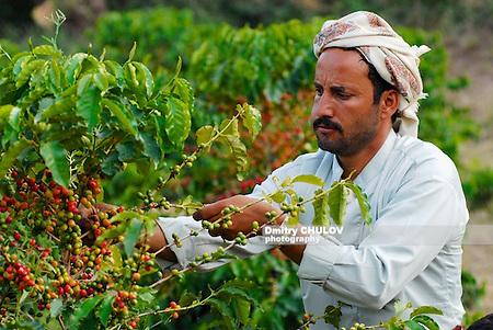 Farmer picking coffee harvest, Ta'izz, Yemen,. (Dmitry Chulov)