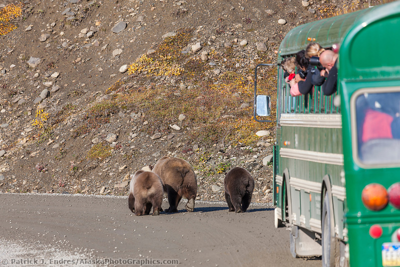 Tourists in a Denali park bus take pictures of a grizzly bear sow and cubs along the park road in Highway pass, Denali National Park. (Patrick J. Endres / AlaskaPhotoGraphics.com)