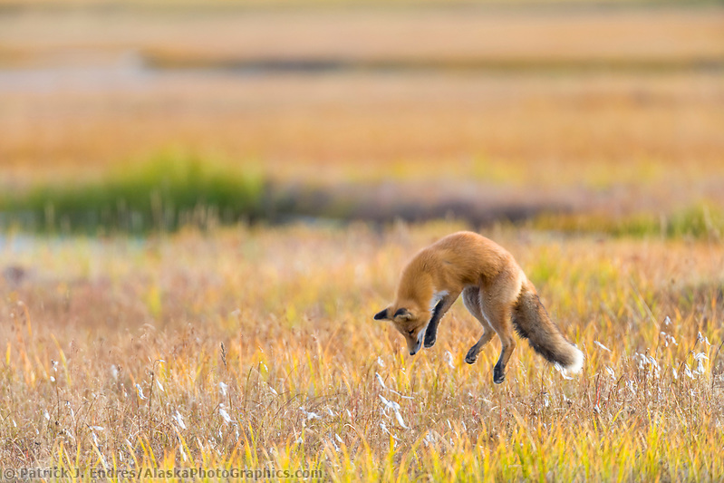Red fox in the autumn grasses of wetlands on the Seward Peninsula, western arctic, Alaska. (Patrick J Endres / AlaskaPhotoGraphics.com)