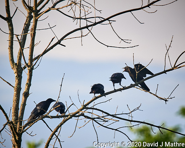 American Crows in a tree. Image taken with a Nikon D5 camera and 600 mm f/4 VR lens (ISO 500, 600 mm, f/5.6, 1/1250 sec) (DAVID J MATHRE)