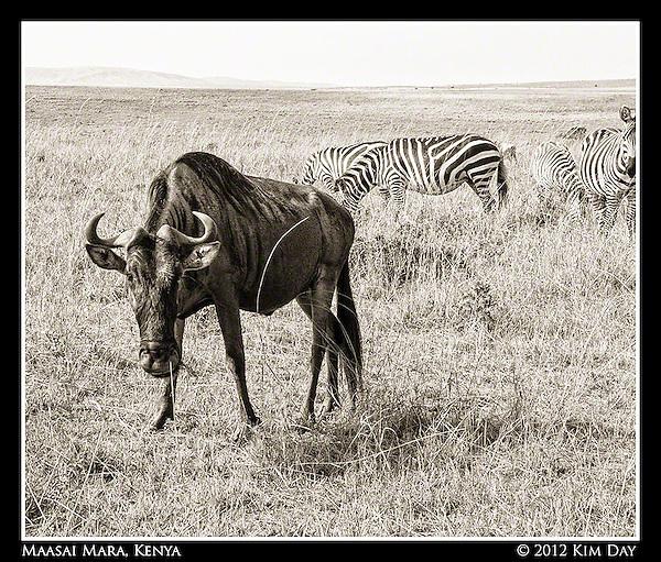 Staring Wildebeest.Maasai Mara, Kenya.September 2012 (Kim Day)