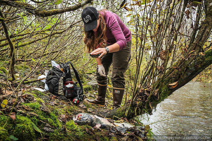 Rachel Wheat, a graduate student at the University of California Santa Cruz, photographs a salmon carcass from which she has taken a bear saliva DNA sample from on the banks of the man-made spawning channel of Herman Creek, near Haines, Alaska. Wheat is collecting DNA samples of bears from bear saliva left on salmon carcasses as part of research for her doctoral dissertation. She hopes to determine if partially-consumed salmon carcasses can serve as a viable source for bear DNA to genotype individuals. She also looking to determine a minimum population estimate for the number of bears using the Chilkoot Valley and the ratio of males to females, particularly in light of increase human presence. The bear DNA collection is part of her dissertation which looks at how the availability of salmon affects eagle movement, bear activity, and subsistence fishermen. EDITORS NOTE: Images of Wheat capturing bald eagles for the bald eagle portion of her study are available here: http://denglerimages.photoshelter.com/gallery/Bald-eagle-research-Chilkat-River-eagle-migration-study/G0000GTyPvah7eiQ/ During late fall, bald eagles congregate along the Chilkat River to feed on salmon. This gathering of bald eagles in the Alaska Chilkat Bald Eagle Preserve is believed to be one of the largest gatherings of bald eagles in the world. (© John L. Dengler/Dengler Images)
