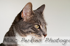 Bertie, a blue tabby and white shorthair cat, looking pensive in front of a white background. (Marc C. Perkins)