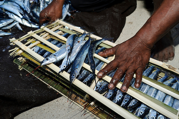 Men preparing Roa fish for smoking, Bangga, Gorontalo, Sulawesi, Indonesia. (Matthew Oldfield)