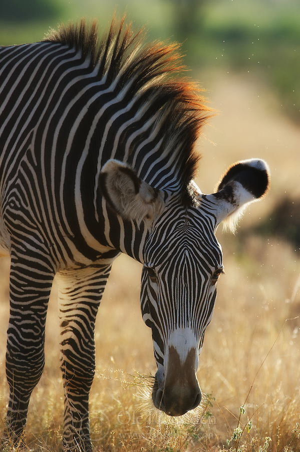 Grvy's Zebra (Equus grevyi) in Samburu, Kenya (Ole Jrgen Liodden)