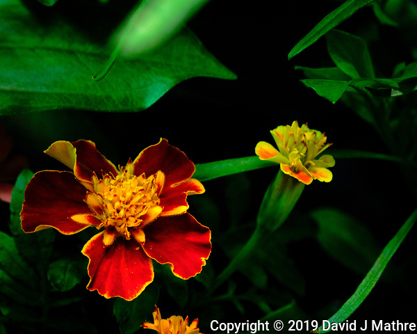 Marigold Flower. AeroGarden Farm 04 Left. Fuji X-T3 camera and 80 mm f/2.8 OIS macro lens (ISO 800, 80 mm, f/11, 1/30 sec). (DAVID J MATHRE)