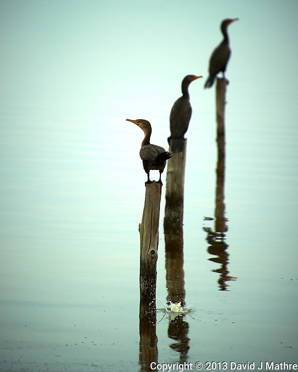 Three Double-crested Comorants on Posts at Merritt Island National Wildlife Refuge in Florida. Image taken with a Nikon D3s and 400 mm f/2.8 lens (ISO 200, 400 mm, f/5.6, 1/1000 sec) (David J Mathre)