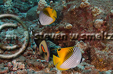 Threadfin Butterflyfish, Chaetodon auriga, Maui Hawaii (Steven Smeltzer)