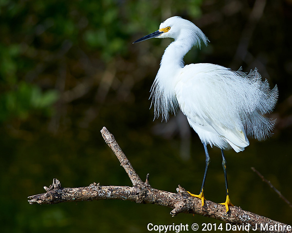 Snowy Egret on a Branch. Along Biolab Road at Merritt Island National Wildlife Refuge in Florida. Image taken with a Nikon Df camera and 300 mm f/4 lens (ISO 100, 300 mm, f/4, 1/1250 sec). (David J Mathre)
