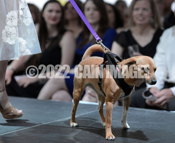 DOYLESTOWN, PA - JUNE 06: Buffy Lu the dog pauses on the runway during the Canines on the Catwalk fashion show June 6, 2014 at the Michener Museum in Doylestown, Pennsylvania. Canines on the Catwalk is a fashion show coupling professional models, high-end clothes and dogs. The program benefits animal rescue  (Photo by William Thomas Cain/Cain Images) (William Thomas Cain)