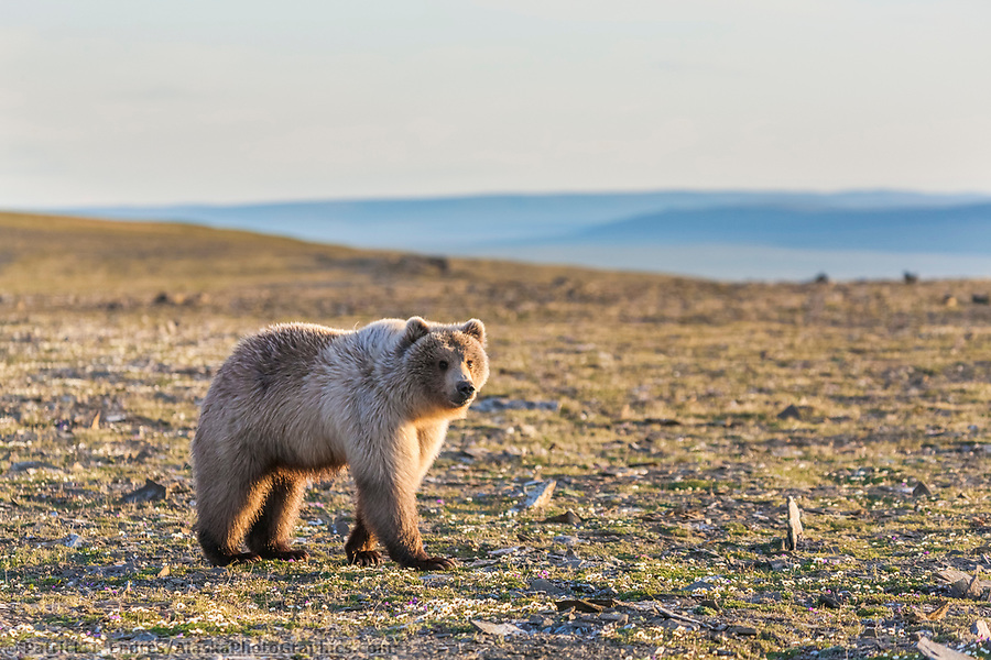 National Petroleum Reserve Alaska photos: Grizzly bear stands in the midnight sun along Archimedes ridge, Utukok uplands, National Petroleum Reserve Alaska, Arctic, Alaska. (Patrick J Endres / AlaskaPhotoGraphics.com)