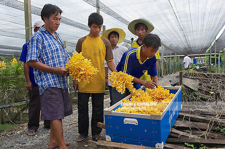 SAMUT SONGKRAM, THAILAND - MAY 22, 2009: Unidentified people work at the orchid farm in Samut Songkram, Thailand. (Dmitry Chulov)