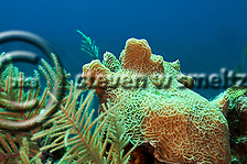 Lettuce Coral, Agaricia agaricites, Grand Cayman (Steven W Smeltzer)