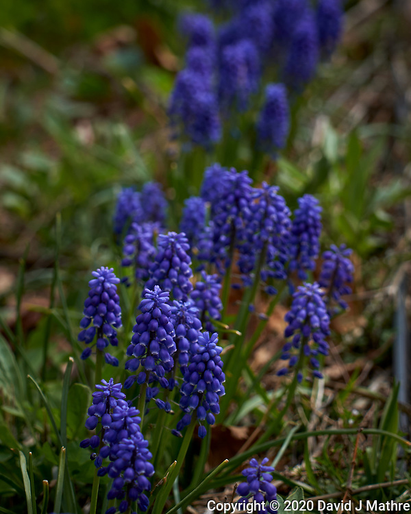 Purple Grape Hyacinth flowers.  Image taken with a Leica CL camera and 60 mm f/2.8 lens (ISO 100, 60 mm, f/4, 1/500 sec). (DAVID J MATHRE)