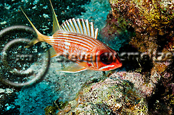 Longspine Squirrelfish, Holocentrus rufus, (Walbaum, 1792), Grand Cayman (StevenWSmeltzer.com)