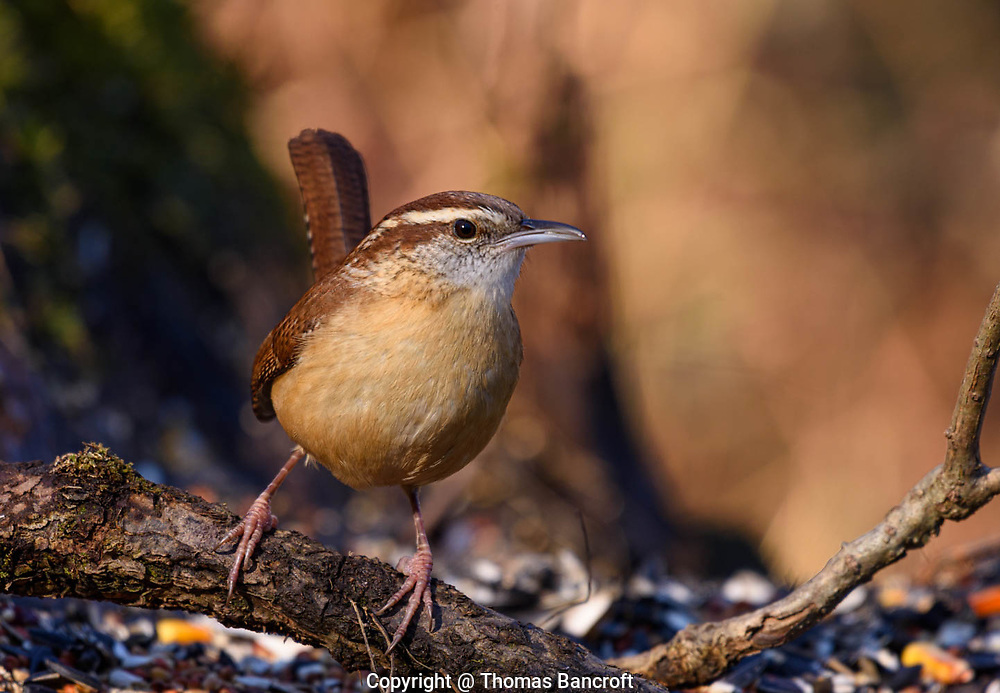 The Carolina Wren leans to its left and stares right at me as if its asking me a question. (G. Thomas Bancroft)