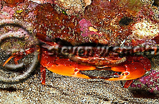 Red Swimming Crab, Gonioinfradens paucidentata, Night dive, Sheraton Reef, Maui Hawaii (Steven Smeltzer)