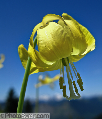"A yellow flower of a Glacier Lily grows on Scorpion Mountain, a hike (9 miles round trip, 2500 feet total gain) near Skykomish, US Highway 2, Washington, USA. Published in ""Light Travel: Photography on the Go"" by Tom Dempsey 2009, 2010. (© Tom Dempsey / Photoseek.com)"