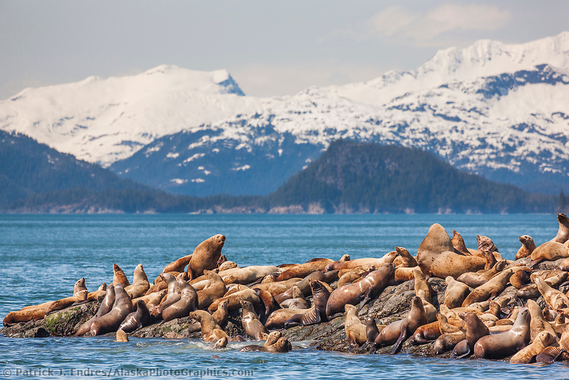 A group of steller sea lions hauled out on a rocky outcrop on Bull Head, Glacier Island, Chugach mountains in the distance, Prince William Sound, southcentral, Alaska. (Patrick J. Endres / AlaskaPhotoGraphics.com)