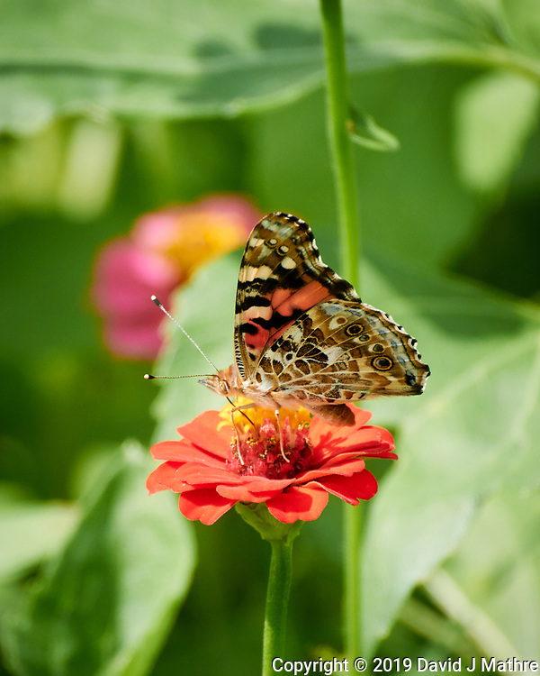 Painted Lady butterfly on a Zinnia flower. Image taken with a Nikon 1 V3 camera and 70-300 VR lens. (DAVID J MATHRE)