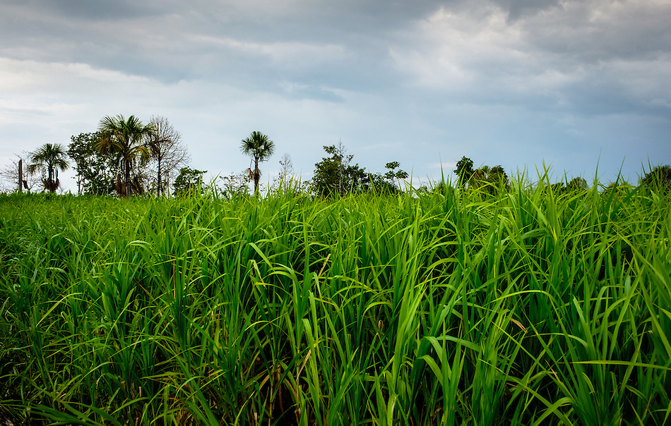 LORETO, PERU - CIRCA OCTOBER 2015: Rice plantation around the Yarapa river. Village of Puerto Miguel in the Peruvian Amazon. (Daniel Korzeniewski)