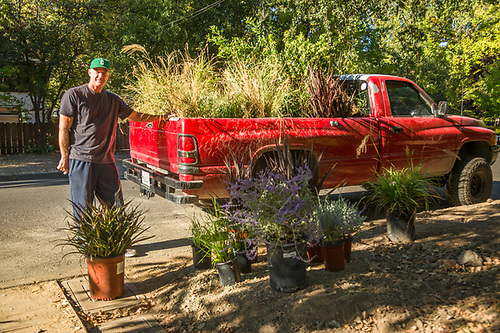 """These plants were left over from a project...I'm taking them to another project.""  -Landscapper and high school coach Jack McMahon unloads plants at a job site on Myrtle Street in Calistoga. (Clark James Mishler)"