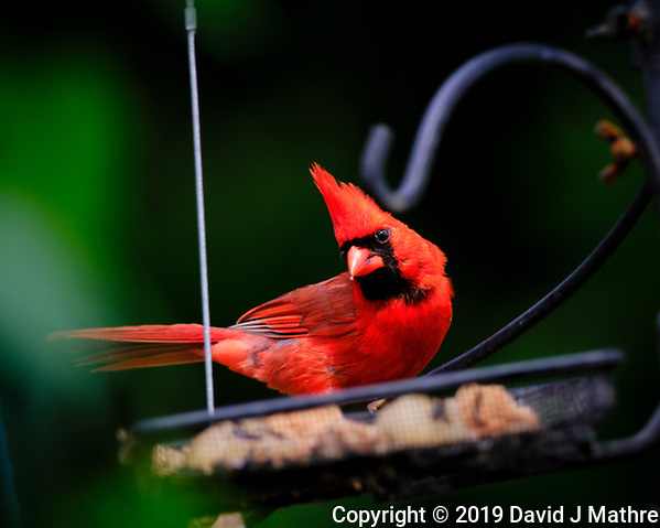 Male Cardinal at the Birdfeeder. Image taken with a Fuji X-T3 camera and 100-400 mm OIS lens (DAVID J MATHRE)