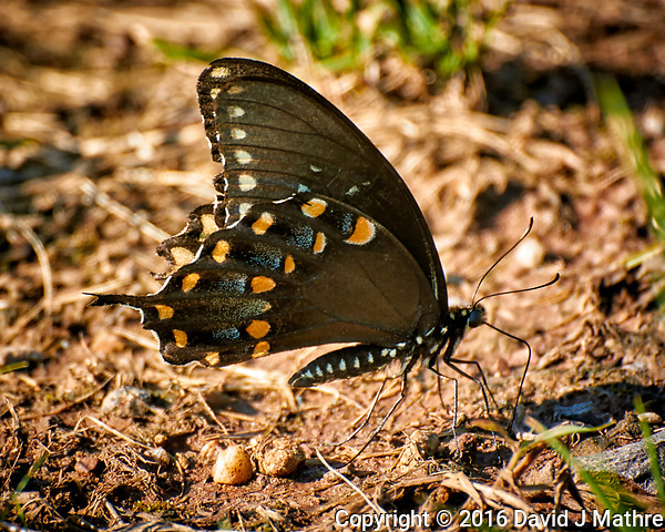 Spicebush Swallowtail Butterfly on the ground to get salt from the mud. Image taken with a Nikon 1 V3 camera and 70-300 mm VR lens (ISO 200, 300 mm, f/5.6, 1/100 sec). (David J Mathre)