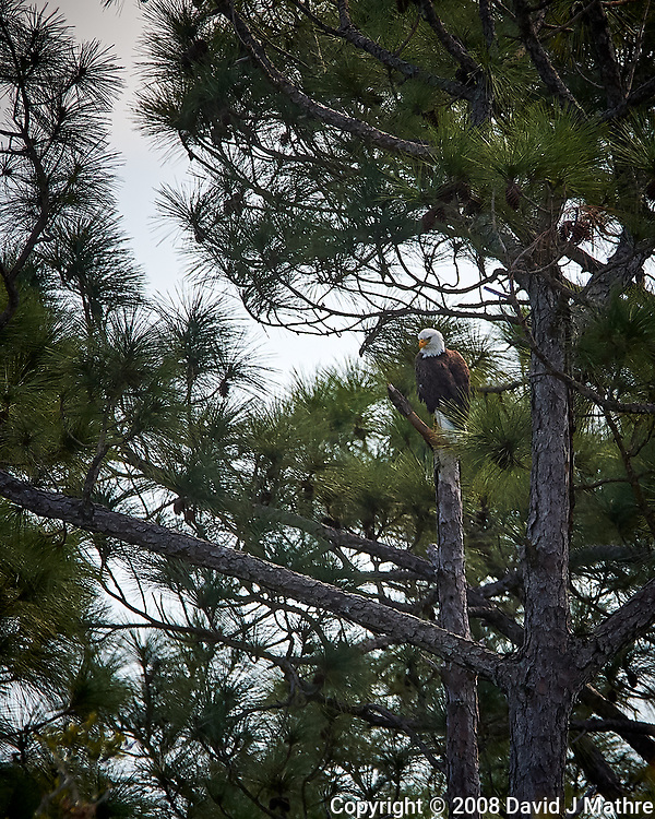 Bald Eagle near its nest in the Merritt Island National Wildlife Refuge. Image taken with a Nikon D3x camera and 300 mm f/2.8 VR lens and TC-E II 20 teleconverter (ISO 400, 600 mm, f/8, 1/800 sec). (David J Mathre)