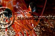 Candy Cane Shrimp, Parhippolyte mistica, (Clark, 1989), Maui Hawaii, Closeup (Steven Smeltzer)