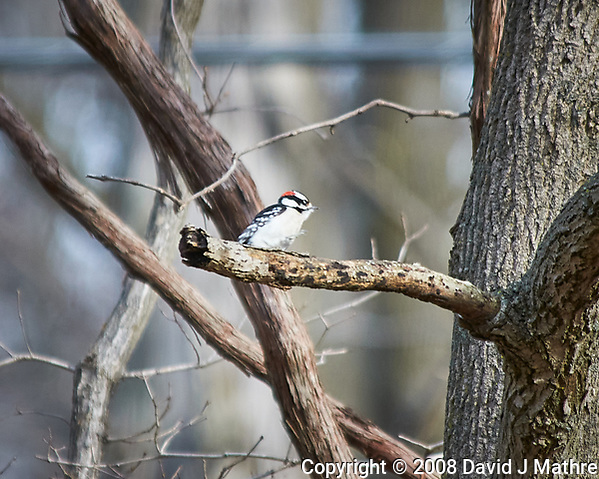 Downy Woodpecker perched on a branch. Image taken with a Nikon D300 camera and 80-400 mm VR lens (ISO 200, 400 mm, f/5.6, 1/320 sec). (David J Mathre)