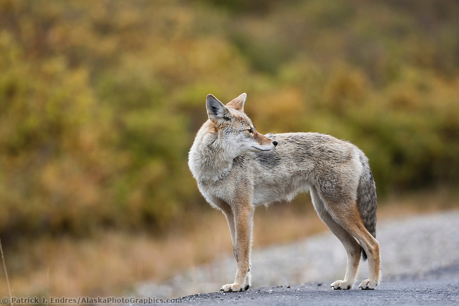 Coyote, Denali National Park, Interior, Alaska. (Patrick J. Endres / AlaskaPhotoGraphics.com)