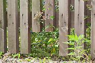 Zaun mit Igeldurchschlupf, In Lattenzaun, Zaun ausgesägtes Loch, um Igel, Igeln einen Durchschlupf zu bieten, Gartenzaun, Igelschutz, Igel-Schutz, Fence with opening, fence cut hole to offer a opening to hedgehogs, hedgehog, garden fence, Hedgehog's protection (Frank Hecker)