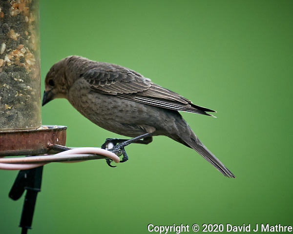 Brown-headed Cowbird at a birdfeeder. Image taken with a Nikon D5 camera and 600 mm f/4 VR lens (ISO 1600, 600 mm, f/5.6, 1/800 sec). (DAVID J MATHRE)