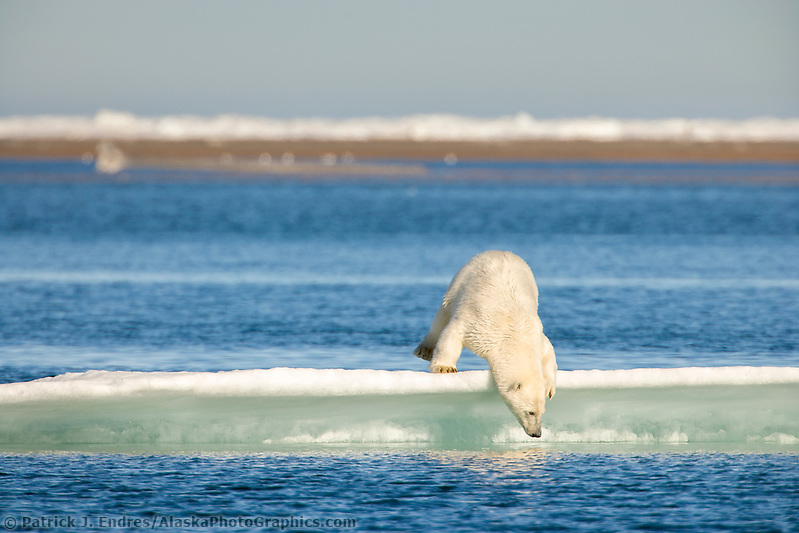 Polar bear on ice berg in the Beaufort Sea, off the coast of Barter Island, Kaktovik, Alaska (Patrick J Endres / AlaskaPhotoGraphics.com)