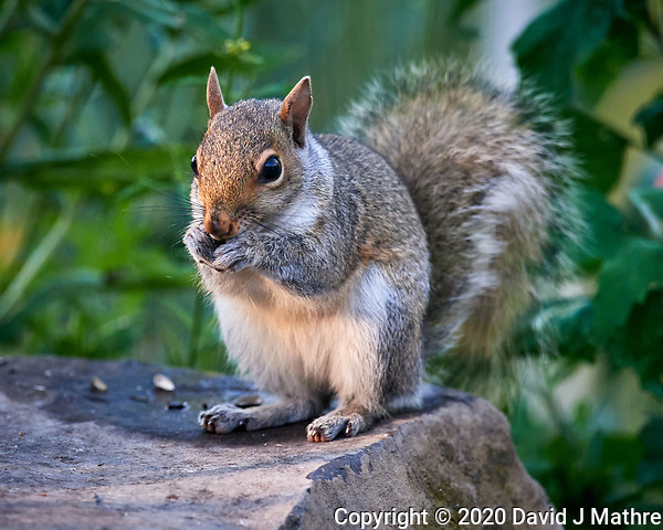 Squirrel under the birdfeeder. Image taken with a Nikon D5 camera and 600 mm f/4 VR lens (DAVID J MATHRE)