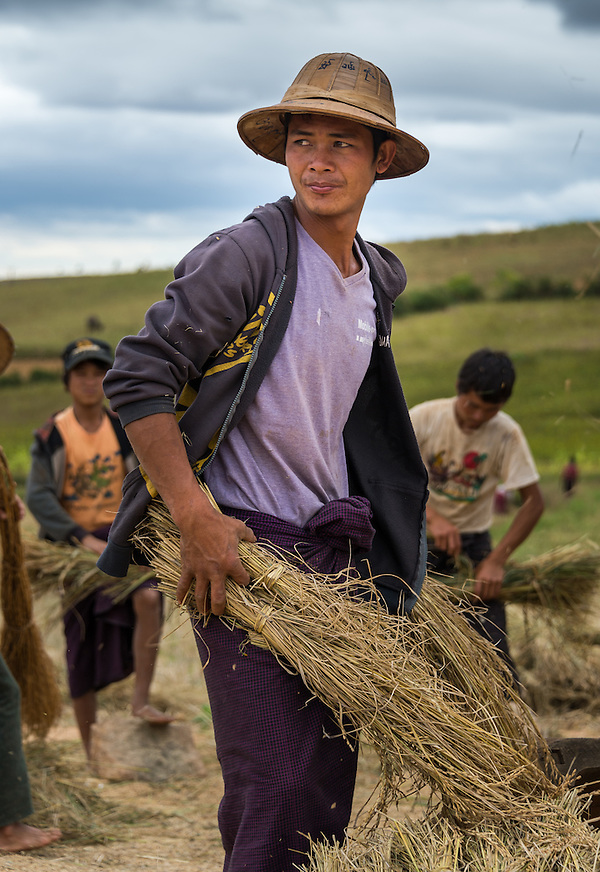SHAN PROVINCE, MYANMAR - CIRCA DECEMBER 2013: Young farmer holding harvested sticky rice in the countryside. (Daniel Korzeniewski)