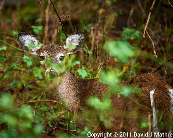 Deer hiding in the bushes. Image taken with a Nikon D700 camera and 70-300 VR lens (ISO 1250, 300 mm, f/5.6, 1/125 sec). (David J Mathre)