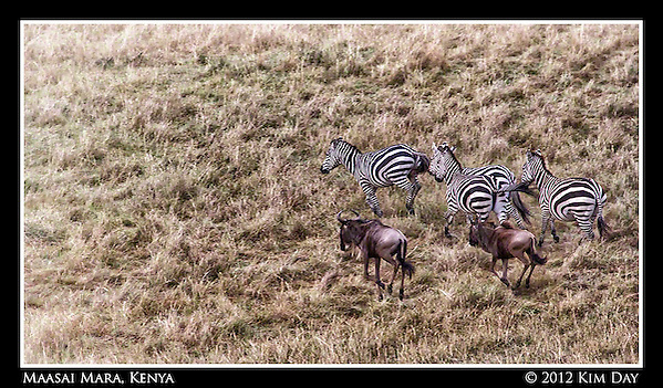 Wildebeest And Zebra On The Run.Maasai Mara, Kenya.September 2012 (Kim Day)