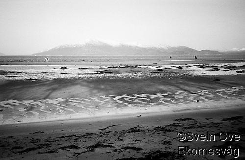 To svarte og en hvit hest på Roaldsanden på Vigra. Foto: Svein Ove Ekornesvåg (Svein Ove Ekornesvåg)